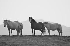 Pembrokeshire Pony (heathernewman) Tags: blackandwhite horse nature animal animals outdoors nationalpark outdoor pony ponies pembrokeshire coastpath pembrokeshirenationalpark