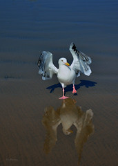 My Stomping Ground (VGPhotoz) Tags: ocean beach nature water dance wings sand nikon seagull nikkor stomp thestomp thehappydance vgphotoz