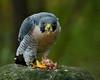 "A Peregrine Falcon eating his prey (thorntm) Tags: bird t15102401 mdtpix nikond800 flickrestrellas peregrinefalcon falcon autofocus ""nikonflickraward"" raptor thebestofday otw"