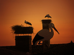IMG_6209 The fake and the real storks: Sunset stork chimneys (pinktigger) Tags: sunset chimney italy bird nature italia stork cegonha cigea friuli storch ooievaar fagagna cicogne cicogna oasideiquadris feagne storksign