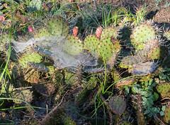 4-IMG_0190 (hemingwayfoto) Tags: herbst natur hannover sdafrika kaktus morgentau spinnweben berggarten feigenkaktus opuntiavulgaris