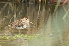 DSC_1744 Watersnip : Becassine de marais : Gallinago gallinago : Bekassine : Common Snipe