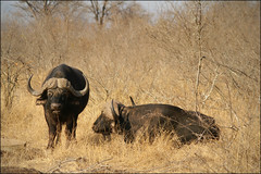 African Buffalo (*Kicki*) Tags: africa nature animal southafrica bush buffalo wildlife safari krugernationalpark capebuffalo krugerpark gamedrive synceruscaffer africanbuffalo shongololoexpress thebigfive
