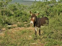 Equus africanus asinus (carlos mancilla) Tags: equusafricanusasinus animales burro donkey asno olympussp570uz