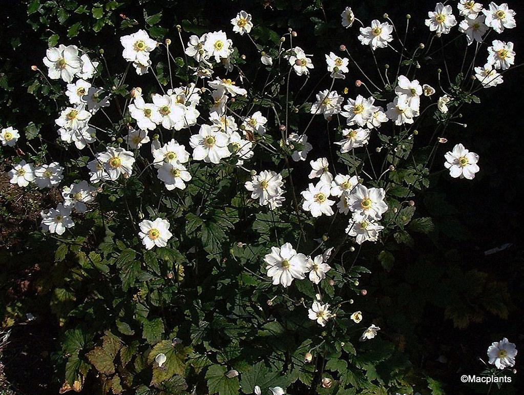 Anemone x hybrida 'Honorine Jobert'