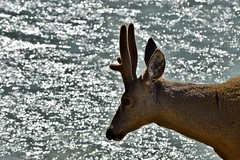 _DSC089 Huemul. (luispedrosocak) Tags: naturaleza argentina rio paisaje chaltn huemul