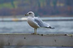 Seagull (Six Sigma Man (Thank you for the 1.9M+ views)) Tags: bird nikon seagull longisland nikond3200 coldspringharbor