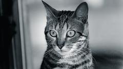 DSC_3427-2 (gRom62) Tags: nikon gatti d600 animalidomestici