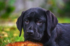 looking in two places (bmullaney1) Tags: black labrador dog retriever lab