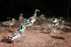 Rouen duck (stevehimages) Tags: steveh stevehimages steve higgins grandpas den wowzers warden west midlands 2016 duck stafforshire wildlife trust rouen wolsey centre