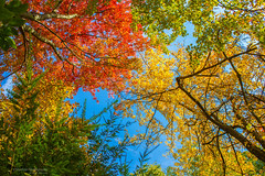 Canopy of Colors (Skyelyte) Tags: autumn autumninnewengland colors leaves foliage nature bright blue orange yellow sky trees forest woods scenic skyelyte pequabuckct fall outdoor sunlight colorful fallfoliage autumnfoliage