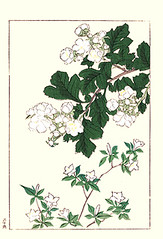 Chinese hawthorn and snowrose (Japanese Flower and Bird Art) Tags: flower chinese hawthorn crataegus cuneata rosaceae snowrose serrisa japonica hoitsu sakai kiitsu suzuki kimei nakano nihonga woodblock picture book japan japanese art readercollection