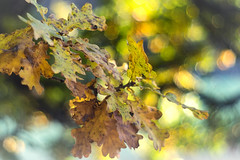 Eichenlaub (novofotoo) Tags: gelb herbst herbstblatt makro motiv natur alt autumn macro nature old vellow eichenlaub meyergrlitzoreston50mmf18