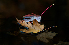 Floating maple leaves (Thankful!) Tags: mapleleaves silvermaple acersaccharinum floating creek water reflection