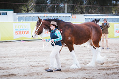 Royal Melbourne Show 2016 (tyroga) Tags: jamestroi tyroga clydesdale horse juniors leading royalmelbourneshow