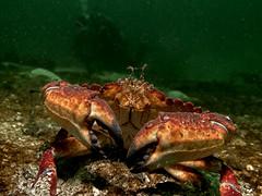 Deep Cove September 25 2016 (roncasual) Tags: diving divingpacificnorthwest divingbritishcolumbia underwater scuba deepcove setchellroad victoria vancouverisland