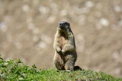 DSC_3543 (d90-fan) Tags: rauris raurisertal natur alpen salzburgerland sterreich nationalpark npht hohe tauern wandern krumltal seidlwinkeltal