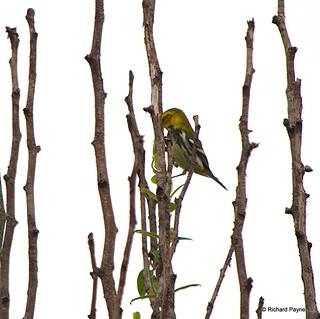 Black-throated Green Warbler_N8459_5868.NEF-001