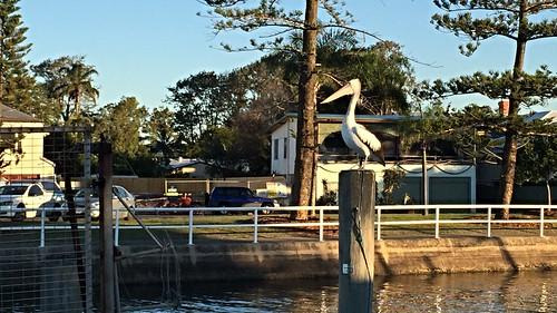 Pelican at Wynnum, Brisbane, Queensland