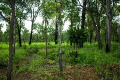 Australian Bush (betadecay2000) Tags: beta livistona humilis palme palm palmtree tree baum bume busch bush australia australien austral australie australian top end savanne regenzeit pflanze grn green pflanzen plant flower bloem fleur outdoor