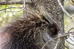Porcupine - Banff NP - Alberta (bart coessens) Tags: porcupine banff banffnationalpark icefieldsparkway animals animal mammal mammals wildlife wildanimals nature