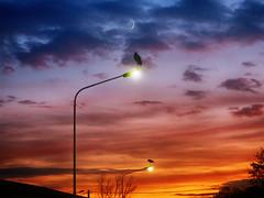 IMG_2182 So close and so far away under a moon slice (pinktigger) Tags: stork cigüeña storch cicogne ooievaar ciconiaciconia cicogna cegonha bird nature fagagna feagne friuli italy italia oasideiquadris animal outdoor sunset lampion moon
