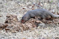 DSC_1429 (H Sinica) Tags: udawalawenationalpark  mongoose srilanka  ceylon  safari