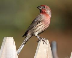 """House Finch"" ""Carpodacus mexicanus"" (jackhawk9) Tags: housefinch carpodacusmexicanus finch birds wildlife nature southjersey jackhawk9 newjersey canon ngc backyardbirding usa"