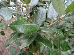 Stein-Eiche - Quercus ilex - Bltter von oben, NGID21776588 (naturgucker.de) Tags: ngid21776588 naturguckerde steineiche quercusilex 649561984 2128523129 945329452 chorstschlter