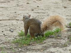 Central Parc - Manhattan - New York - tats-Unis (vanaspati1) Tags: sciurus carolinensis sciuridae cureuil gris eastern gray squirrel central parc manhattan new york tatsunis vanaspati1 nature arbres tree vert green