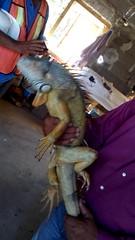 IMG_20151209_144949 (estradelirius) Tags: iguana garrobo