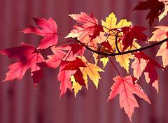 Autumn Leaves at Oregon Heritage Farm (dmeeds) Tags: autumn red leaves