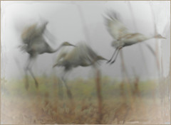 FRANTIC FLUTTER...SANDHILL CRANES IN THE FOG...Crex Meadows, WI (strandviewphotos) Tags: digitalartpainting sandhillcranes crexmeadowswi