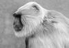 A wise old monkey (London Zoo September 2016 #4) (Lazlo Woodbine) Tags: monkey londonzoo london bw mono ape primate blackwhite blackandwhite lightroom pentax 1855mm k7 september 2016 nature natural animal animals zoo wildlife sigma 70300mm