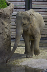 Young & Thirsty (swong95765) Tags: elephant youn thirsty cage water cute