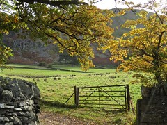 5498 Autumn colour in the Ulswater valley beside the lakeside road (Andy - Busyyyyyyyyy) Tags: 20161102 autumncolour backlit bbb bhday5 branches broughholiday fff field ggg green leaves lll oakleaves ooo qqq quercus tree ttt ulswater yellow yyy