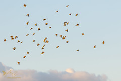 A full Charm of Goldfinches (ABPhotosUK) Tags: animals birds canon cardueliscarduelis ef100400mmisii eos7dmarkii finches fringillidae goldfinch inflight nocrop wildlife
