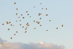 A full Charm of Goldfinches (ABPhotosUK) Tags: animals birds canon cardueliscarduelis ef100400mmisii eos7dmarkii finches fringillidae goldfinch inflight nocrop wildlife