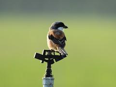 "棕背伯勞  ""Long-tailed Shrike""  ""Lanius schach"" (掌櫃1) Tags: 棕背伯勞 longtailedshrike laniusschach 沙崙 趙桂長 掌櫃1 掌櫃 nikond7100 nikon200500mm"