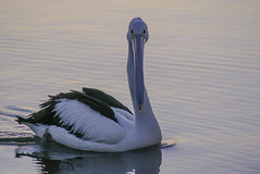 Pelicans IV (Josu Godoy) Tags: ngc pelican animal water sea australia