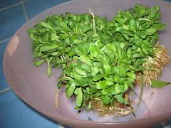Methi leafy vegetable/ Fenugreek (mani_bhaskar23) Tags: methi fenugreek