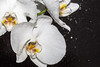 Orchid High Speed Sync (_MarkPayne_) Tags: highspeedsync orchid water splash droplets white