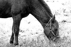 Horse (zddeoo) Tags: horse animal nature photo   wildlife