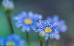 autumn droplets (frederic.gombert) Tags: flower water rain raindrop drop droplet blue yellow color colors light sun sunlight macro sony alpha 7 colored colorful autumn fall