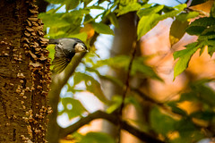 Non-Stop, Direct White Breasted Nuthatch (Michael Bateman) Tags: kinnelon newjersey unitedstates us michael bateman photography michaelbateman