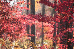 Spirit of November (Irina1010 - out) Tags: forest view foliage red maples november autumn colorful beautiful nature canon ngc