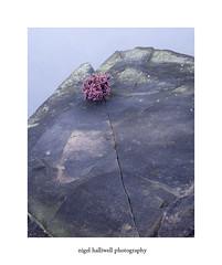 Millstone Edge (Nigel Halliwell) Tags: millstone edge heather 5x4 velvia film