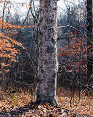 """Scarred for life"" (D A Baker) Tags: vandolah nature preserve tree graffiti carving vandal vandalism carve scar scarred scarring woods fujifilm x100s allen county indiana love pot 420 bark heart autumn"