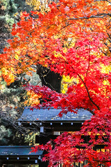 2016 平林寺紅葉 (shinichiro*) Tags: 20161122sdq1428 2016 crazyshin sigmasdquattro sdq autumn november 平林寺 niiza saitama japan jp sigma24105mmf4dgoshsm 新座 紅葉