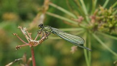 Red Eyed Damselfly (Erythromma najas) (Nick Dobbs) Tags: red dragonfly eyed damselfly najas erythromma